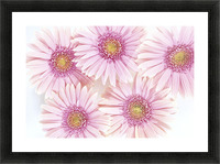 Close-Up Of Pink Daisies Set Together On White Background Studio Shot Picture Frame print