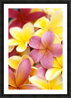 Studio Shot Of Yellow And Two Pink Plumeria Flowers, Water Drops On Petals Picture Frame print