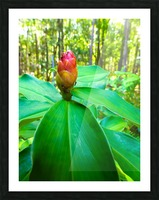 HDR Ants on a ginger flower Picture Frame print