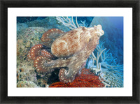 Fiji, Day Octopus (Octopus Cyanea) Close-Up, Curled Up Sitting On Coral Picture Frame print