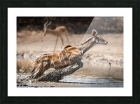 Kudu jump Picture Frame print