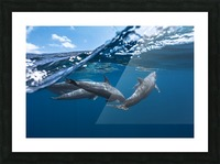 Dolphins Picture Frame print