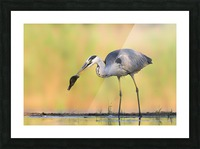 Morning Catch Picture Frame print