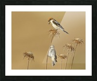 Woodchat Shrike Picture Frame print