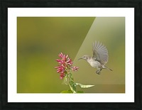 Sunbird Picture Frame print