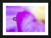 A ladybug on a pink clematis;British columbia canada Picture Frame print