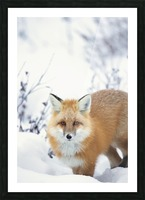 Red fox (vulpes vulpes) in the snow along the shores of the hudson's bay;Churchill manitoba canada Picture Frame print