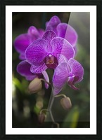Phalaenopsis orchids in bloom; Kailua, Island of Hawaii, Hawaii, United States of America Picture Frame print