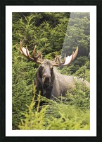 Bull moose (alces alces) in rutting period, Powerline Pass, South-central Alaska; Alaska, United States of America Picture Frame print