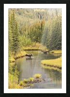 Bull and cow moose (alces alces) feeding in a shallow pond south of Cantwell, photo taken from Parks Highway common moose habitat; Alaska, United States of America Picture Frame print