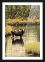 Moose (alces alces) feeding in a shallow pond south of Cantwell, photo taken from Parks Highway common moose habitat; Alaska, United States of America Picture Frame print