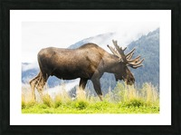 Bull moose (alces alces) with antlers in velvet, captive in Alaska Wildlife Conservation Center, South-central Alaska; Portage, Alaska, United States of America Picture Frame print