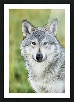 Immature female wolf (canis lupus), captive at the Alaska Wildlife Conservation Center, South-central Alaska; Portage, Alaska, United States of America Picture Frame print