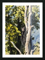 Black bear cub (ursus americanus) climbing a tree, Alaska Wildlife Conservation Center, South-central Alaska; Portage, Alaska, United States of America Picture Frame print