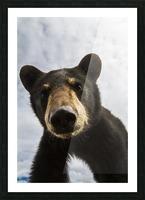 Black bear cub (ursus americanus), captive in Alaska Wildlife Conservation Center, South-central Alaska; Portage, Alaska, United States of America Picture Frame print