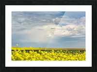 Flowering canola field with dark storm clouds and cattle grazing; Nanton, Alberta, Canada Picture Frame print