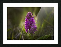 Close up of a pink hyacinth; South Shields, Tyne and Wear, England Picture Frame print