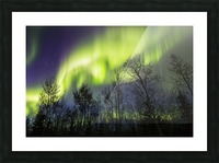 Aurora borealis over silhouetted trees; Alaska, United States of America Picture Frame print