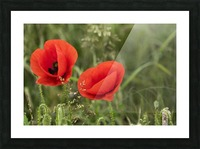 Close up of red poppies blossoming; South Shields, Tyne and Wear, England Picture Frame print
