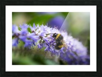 A bee resting on a purple flower; South Shields, Tyne and Wear, England Picture Frame print