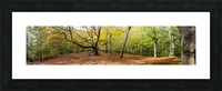 Panorama of a forest in autumn colours; Surrey, England Picture Frame print