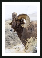 Close up of Bighorn ram (ovis canadensis) with broomed (splintered) horn tips resulting from butting heads with other rams, Shoshone National Forest; Wyoming, United States of America Picture Frame print