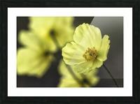 McConnell's Poppy (Papaver mcconnellii); Dawson City, Yukon, Canada Picture Frame print