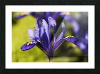 Dwarf Iris blooms in February; Oregon, United States of America Picture Frame print