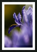 The dwarf Iris is one of the first flowers to bloom in the spring; Oregon, United States of America Picture Frame print