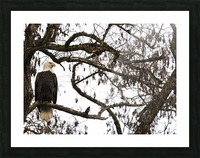 Bald Eagle (Haliaeetus leucocephalus) perched in a tree, Cowichan Bay; British Columbia, Canada Picture Frame print