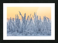 Hoarfrost covers black spruce trees as ground fog and dusk descend on Palmer Hay Flats in South-central Alaska in winter; Alaska, United States of America Picture Frame print