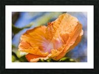Close-up of orange hibiscus flower; Maui, Hawaii, United States of America Picture Frame print