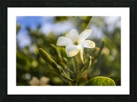 Close-up of puakenikeni flower; Lanai, Hawaii, United States of America Picture Frame print
