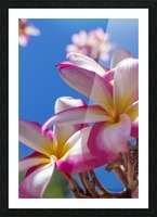 Close-up of pink plumeria flowers and blue sky; Lanai, Hawaii, United States of America Picture Frame print