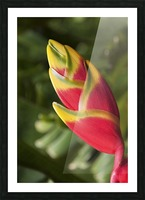 Close-up of lobster-claw heliconia flower; Maui, Hawaii, United States of America Picture Frame print