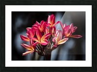 Close-up of bright pink plumeria flowers; Maui, Hawaii, United States of America Picture Frame print