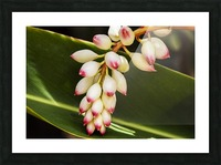 Close-up of white ginger flower Alpinia; Maui, Hawaii, United States of America Picture Frame print