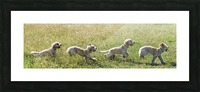 Composite of a blond cockapoo running across a grass field; South Shields, Tyne and Wear, England Picture Frame print