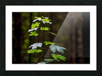 A new green plant grows up towards the sunlight; North Yorkshire, England Picture Frame print
