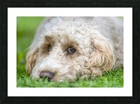 Close-up of the face of a blond cockapoo resting on the grass; North Yorkshire, England Picture Frame print