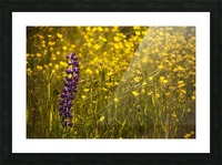 Garden lupin (Lupinus polyphyllus) and buttercups (Ranunculus) in a field at sunset; Fall River, Nova Scotia, Canada Picture Frame print