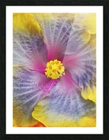 Close-up macro shot of a beautiful lavender, pink and yellow Hibiscus flower; Honolulu, Oahu, Hawaii, United States of America Picture Frame print