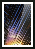 Close-up of silhouetted palm fronds with beautiful sunset color sky in the background; Honolulu, Oahu, Hawaii, United States of America Picture Frame print