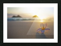 A pink plumeria flower sits on the sand of Lanikai Beach in Kailua with a view of Mokulua twin islands and the ocean at sunset in the distance; Kailua, Oahu, Hawaii, United States of America Picture Frame print