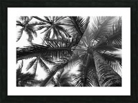 Low angle view of coconut palm trees in black and white; Honolulu, Oahu, Hawaii, United States of America Picture Frame print