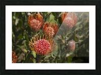 Pincushion (Scabiosa) protea flower; Kula, Maui, Hawaii, United States of America Picture Frame print