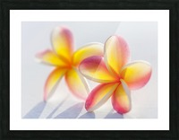 A pair of beautiful yellow and pink Plumeria flowers together (Apocynaceae) on a white background; Honolulu, Oahu, Hawaii, United States of America Picture Frame print