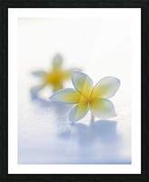 Close-up of two beautiful yellow Plumeria flowers (Apocynaceae) in soft focus; Honolulu, Oahu, Hawaii, United States of America Picture Frame print