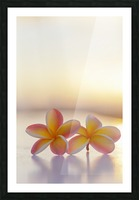 Close-up of a pair of beautiful yellow and pink Plumeria flowers (Apocynaceae) with sunset lighting the background; Honolulu, Oahu, Hawaii, United States of America Picture Frame print
