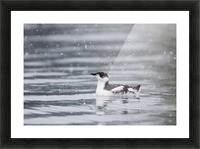 Marbled Murrelet With Winter Plumage Swimming During A Snowfall In Prince William Sound, Alaska, Southcentral, Winter, Iucn Endangered Picture Frame print
